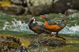 pato de los torrentes.jpg